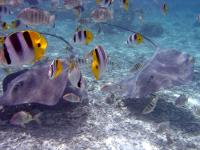 Bootscharter Tahiti: Faszinierende Unterwasserwelt - Rochen und bunte Riff-Fische