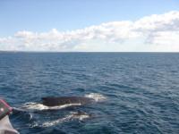 Jachtcharter Kanaren - Wale nahe der Küste Gomeras